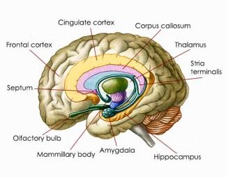 amygdala-location